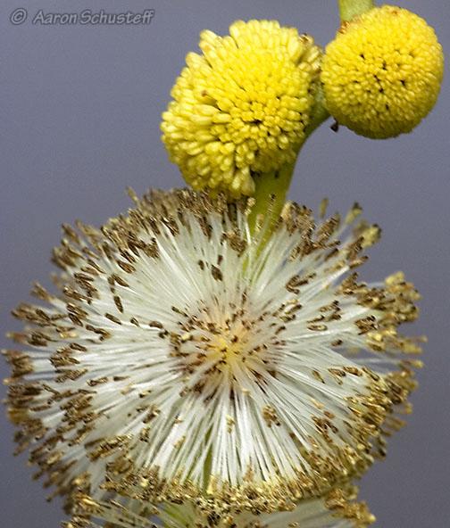 Sparganium eurycarpum
