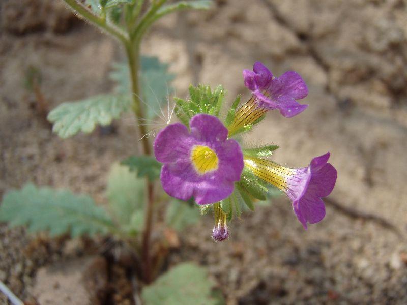 Phacelia suaveolens var. keckii