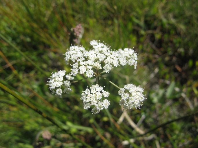 Perideridia parishii ssp. parishii