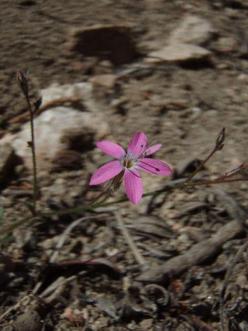Gilia leptantha ssp. leptantha