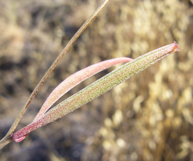 Clarkia rubicunda