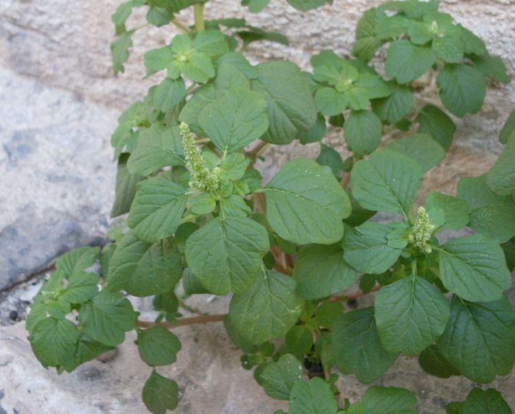 Amaranthus blitum