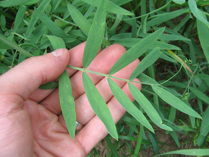 Lathyrus lanszwertii var. lanszwertii