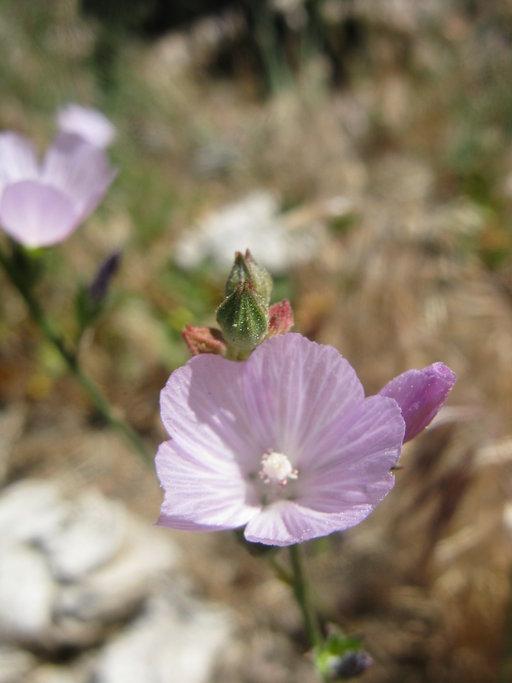 Sidalcea sparsifolia