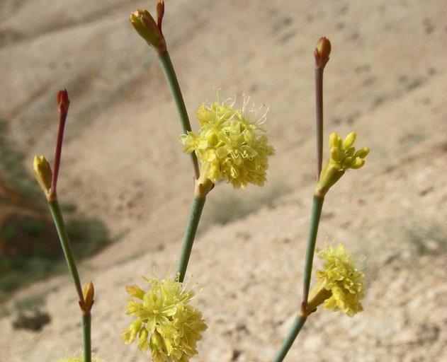 Eriogonum nudum var. indictum