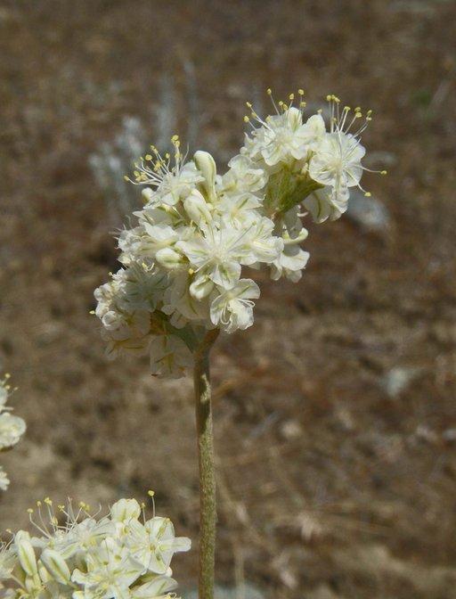 Eriogonum strictum var. proliferum