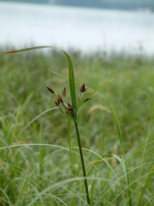 Bolboschoenus fluviatilis