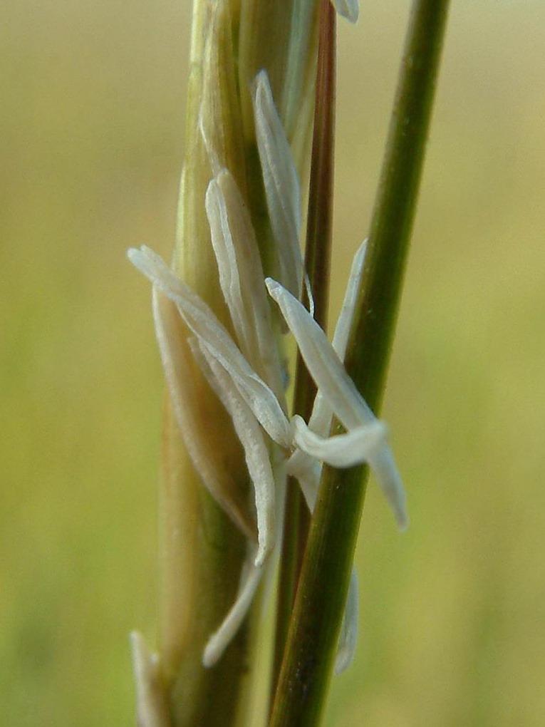 Spartina alterniflora