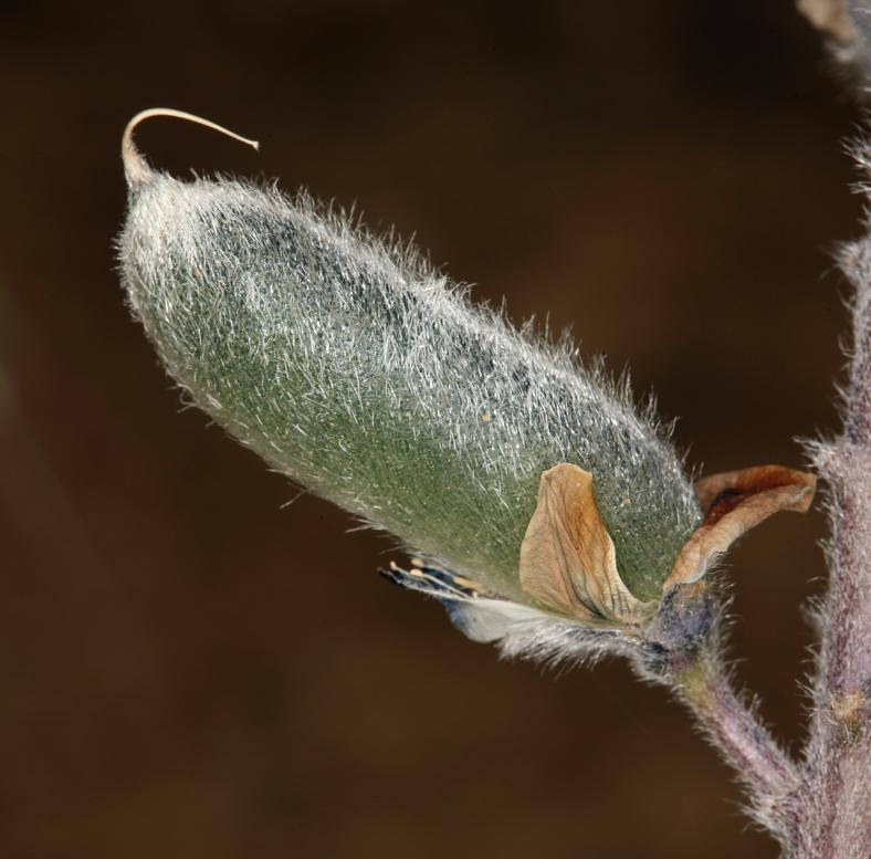 Lupinus nevadensis