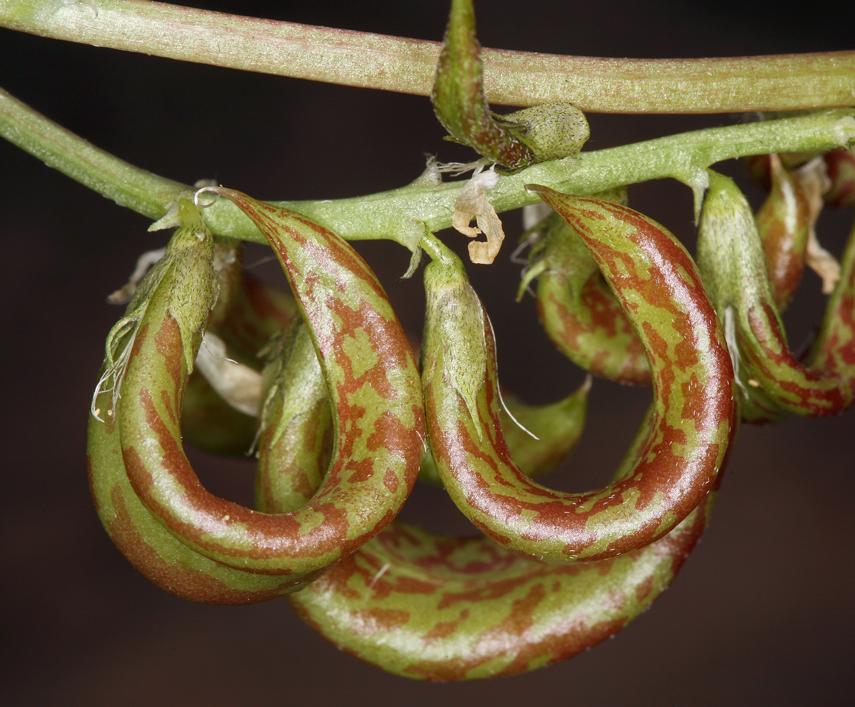 Astragalus curvicarpus var. curvicarpus
