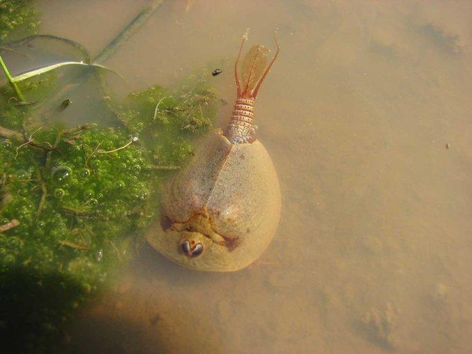 Tadpole Shrimp Related Keywords & Suggestions - Tadpole Shrimp Long ...
