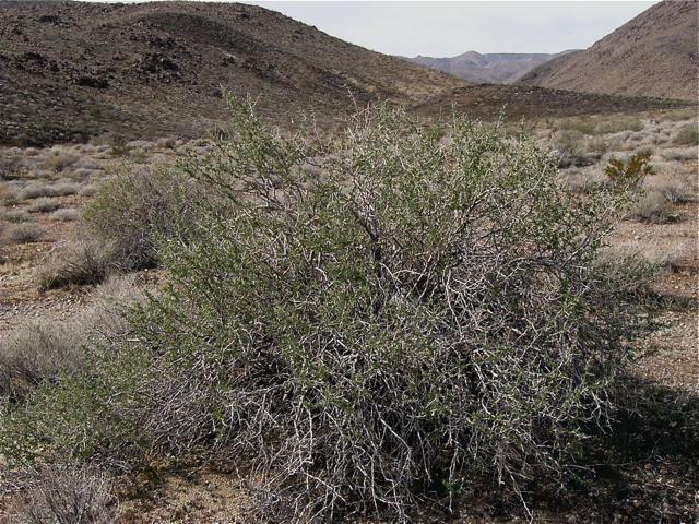 Lycium andersonii