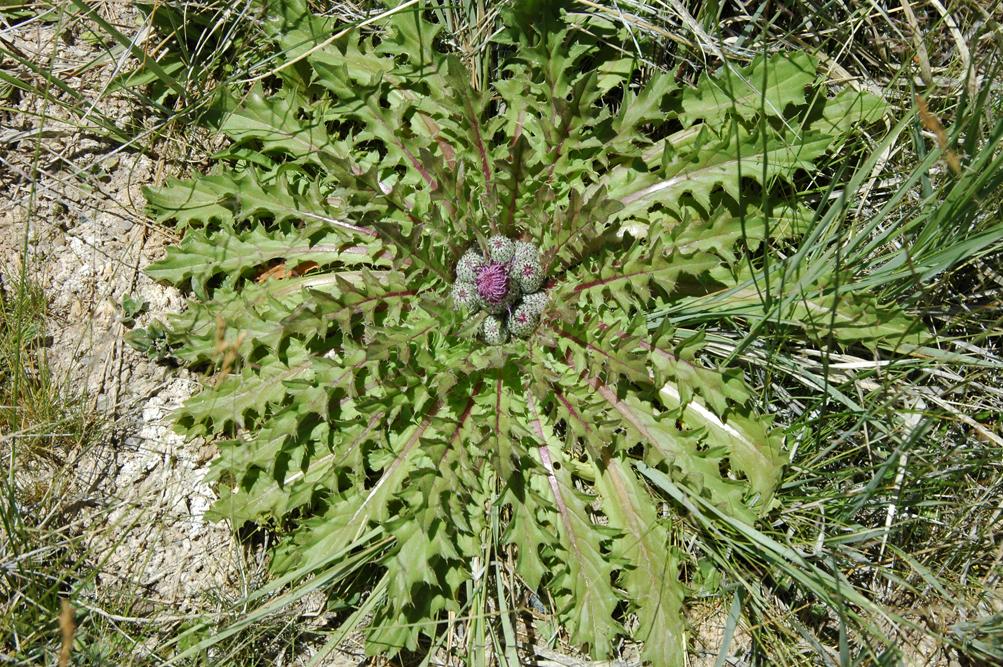 Cirsium scariosum var. congdonii