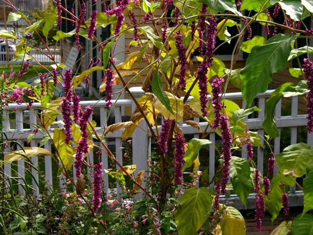 Calphotos Polygonum Orientale Kiss Me Over The Garden Gate