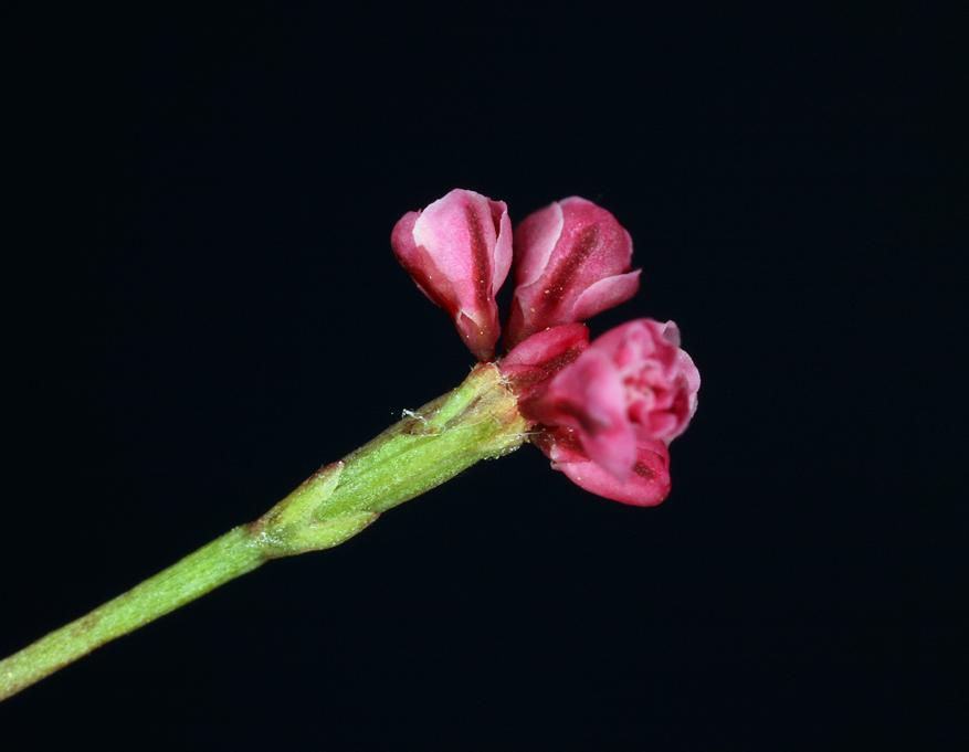Eriogonum luteolum var. pedunculatum