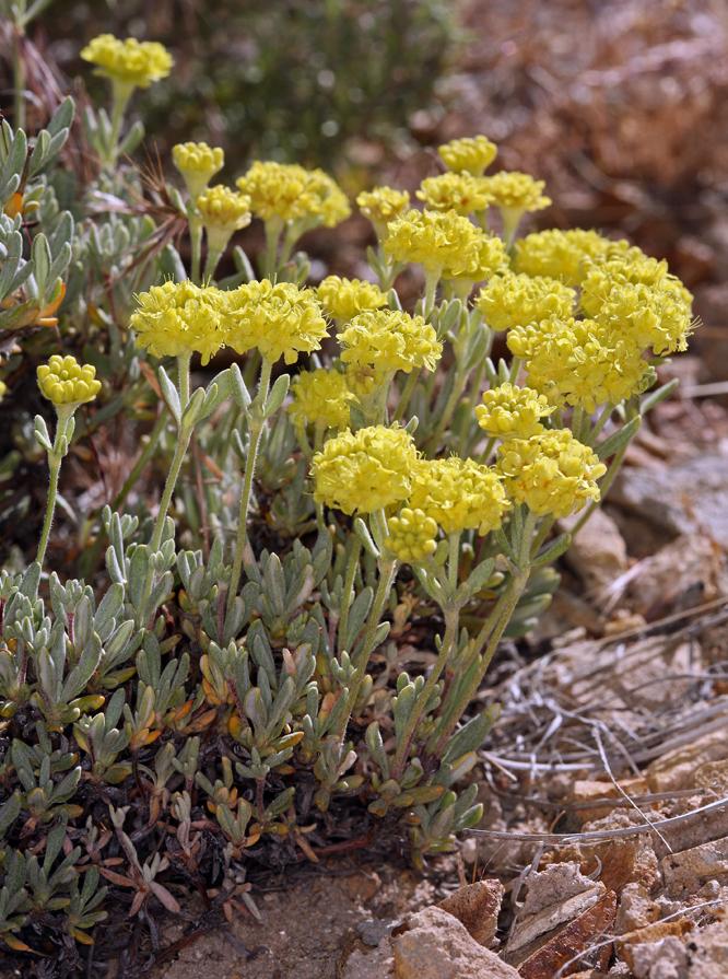 Eriogonum sphaerocephalum var. sphaerocephalum