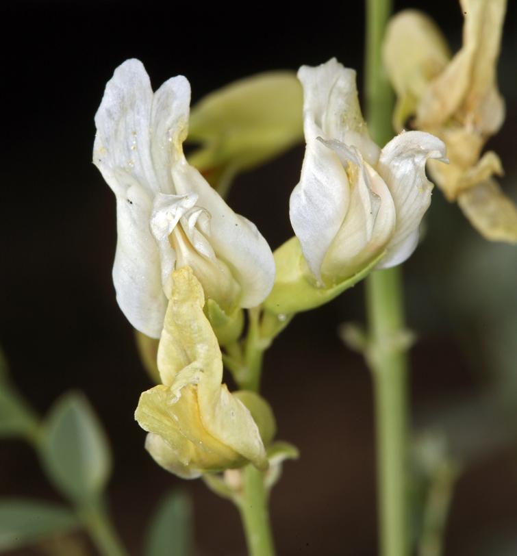 Astragalus oophorus var. lavinii