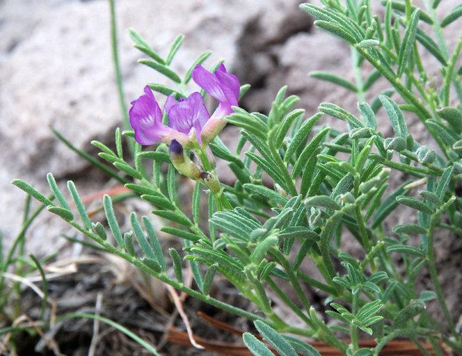 Astragalus whitneyi var. whitneyi