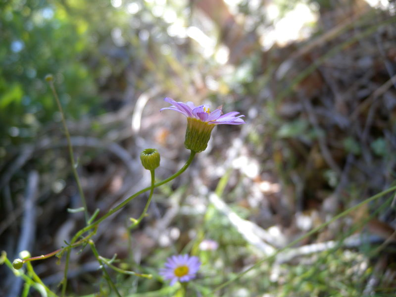 Erigeron serpentinus