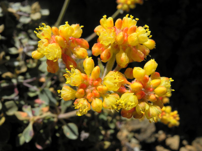 Eriogonum cedrorum