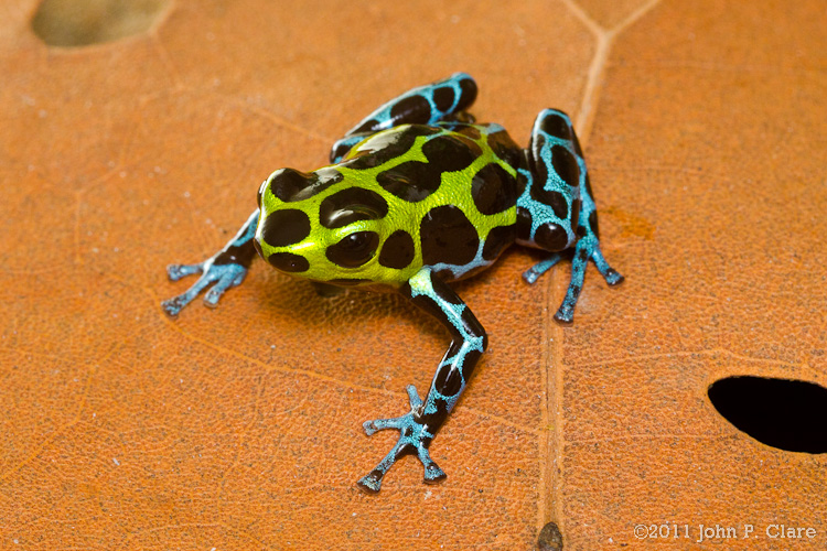 Club Earth Poison dart frogs set: A walkaround by Kikimalou 0049