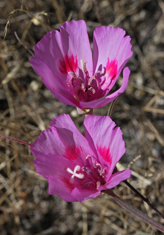 Clarkia amoena ssp. huntiana