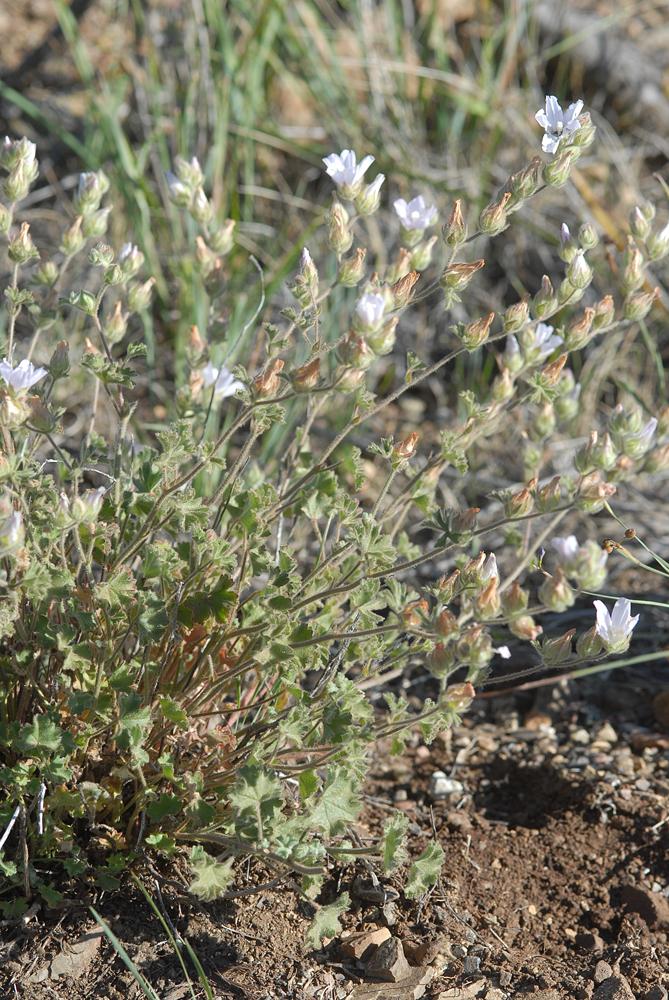 Sidalcea hickmanii ssp. anomala