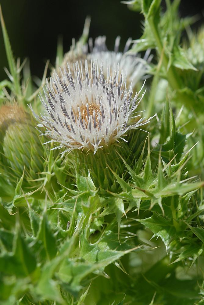Cirsium scariosum var. loncholepis