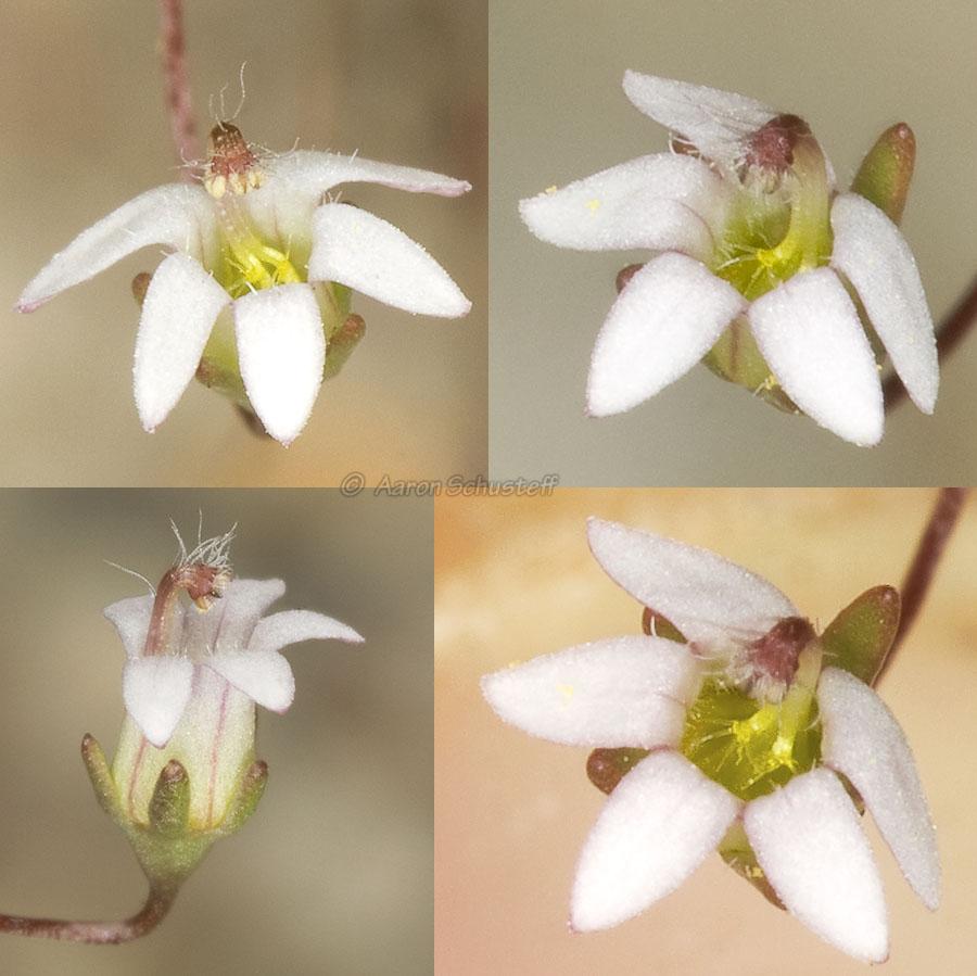 Nemacladus secundiflorus var. robbinsii