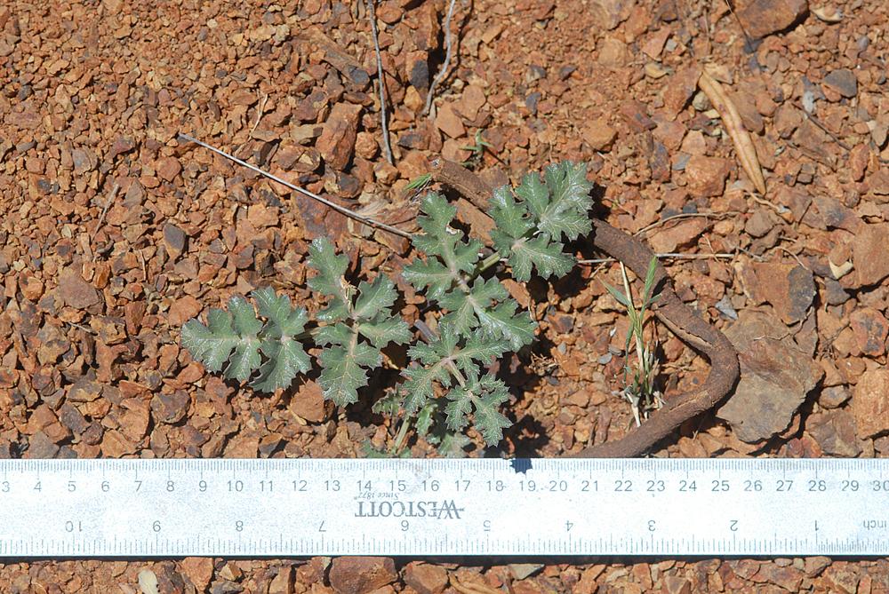 Lomatium parvifolium