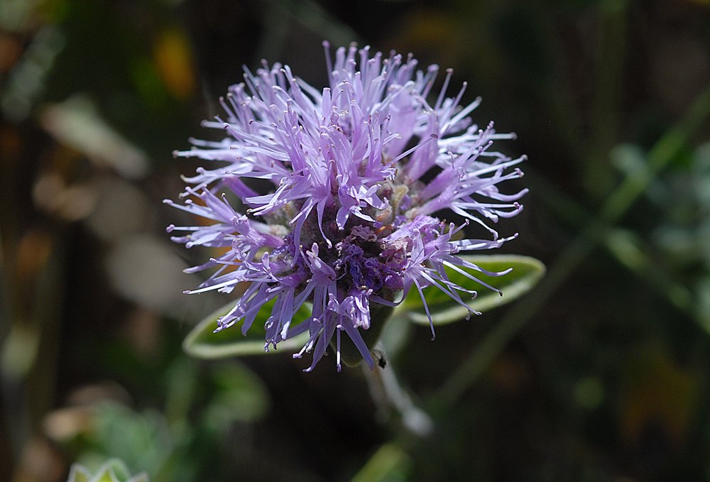 Monardella villosa ssp. obispoensis