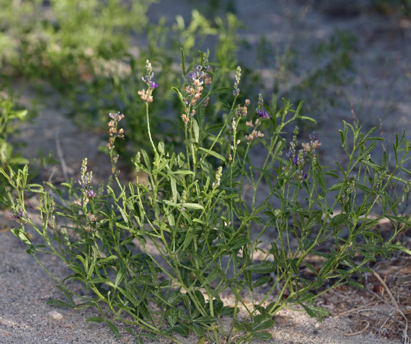Ladeania lanceolata