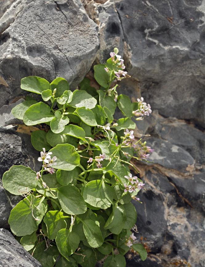Hesperidanthus jaegeri