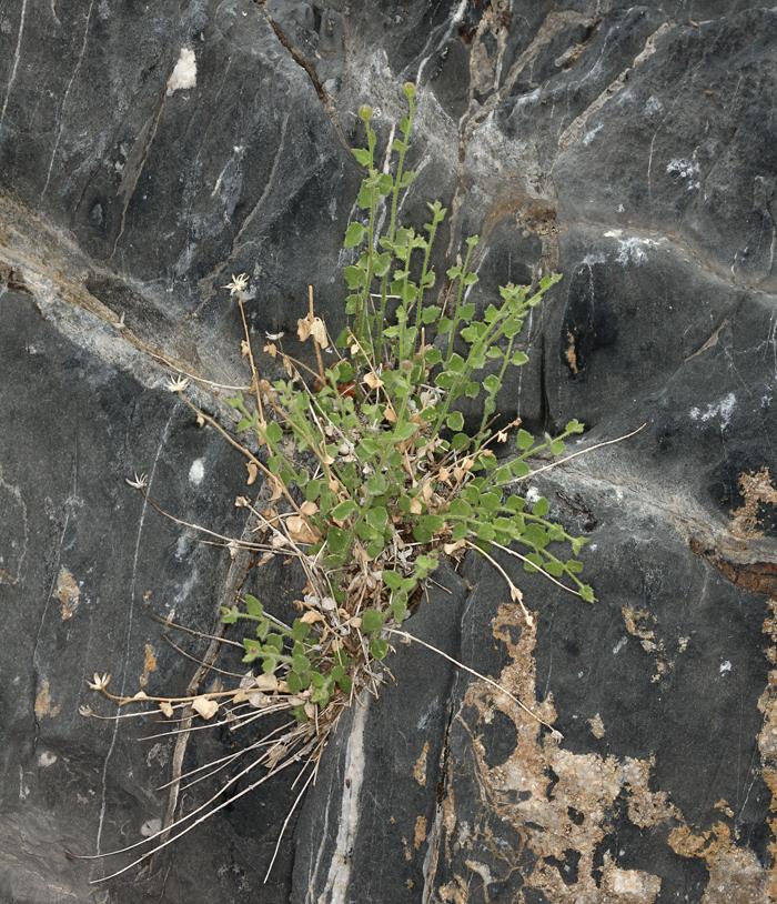 Perityle inyoensis