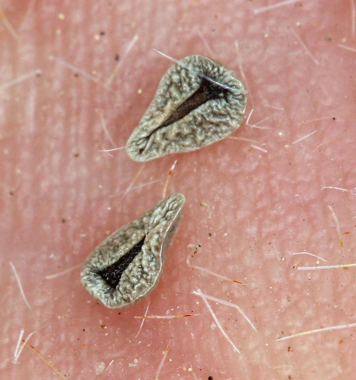 Cryptantha hoffmannii