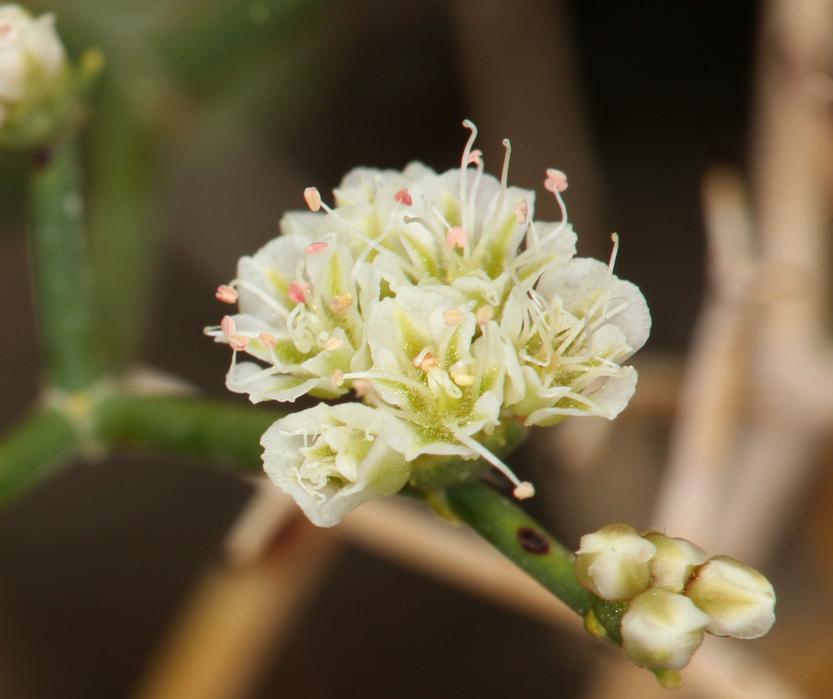 Eriogonum heermannii var. argense