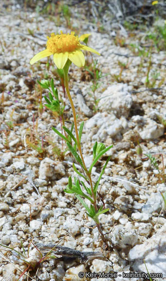 Lasthenia gracilis