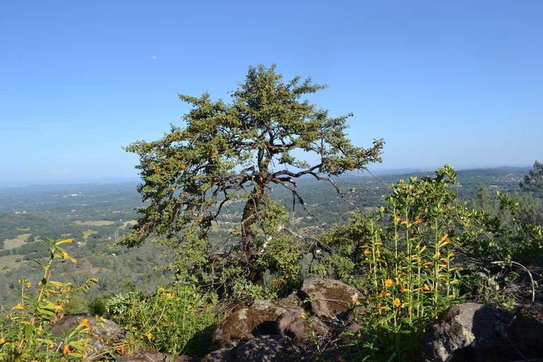 Fremontodendron decumbens
