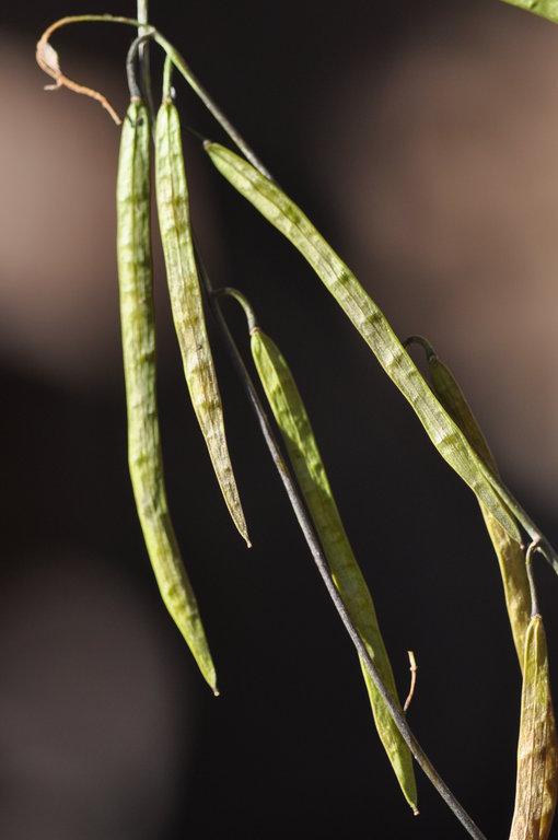 Boechera suffrutescens