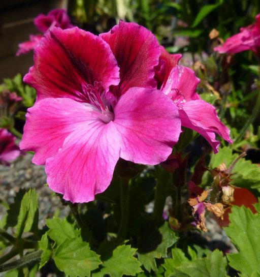 Pelargonium X domesticum image