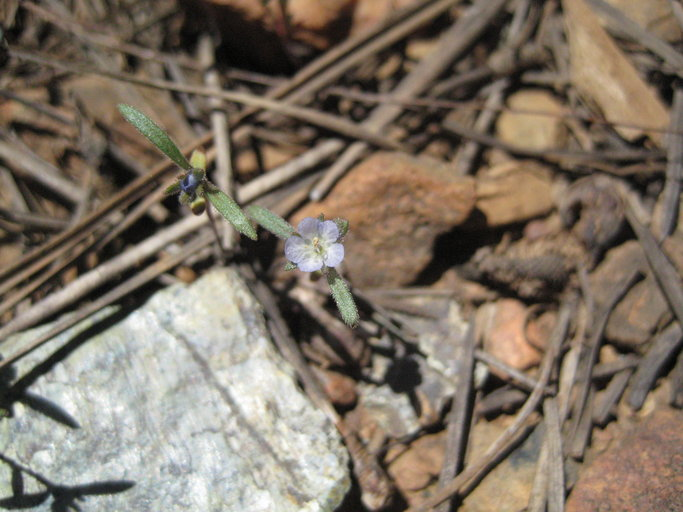 Phacelia leonis