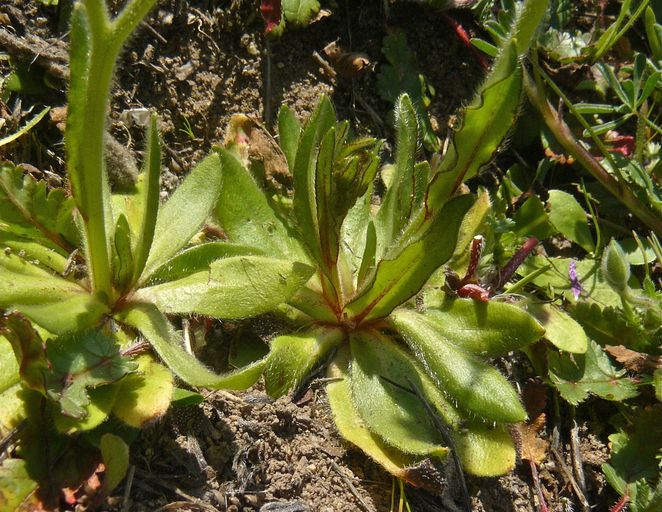 Plagiobothrys nothofulvus