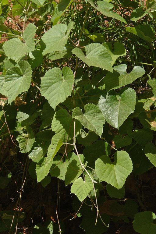 Vitis arizonica