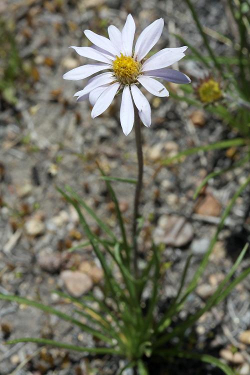 Oreostemma alpigenum var. andersonii