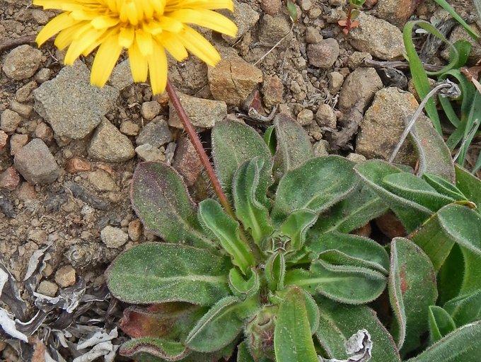 Agoseris apargioides var. eastwoodiae