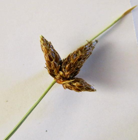 Amphiscirpus nevadensis