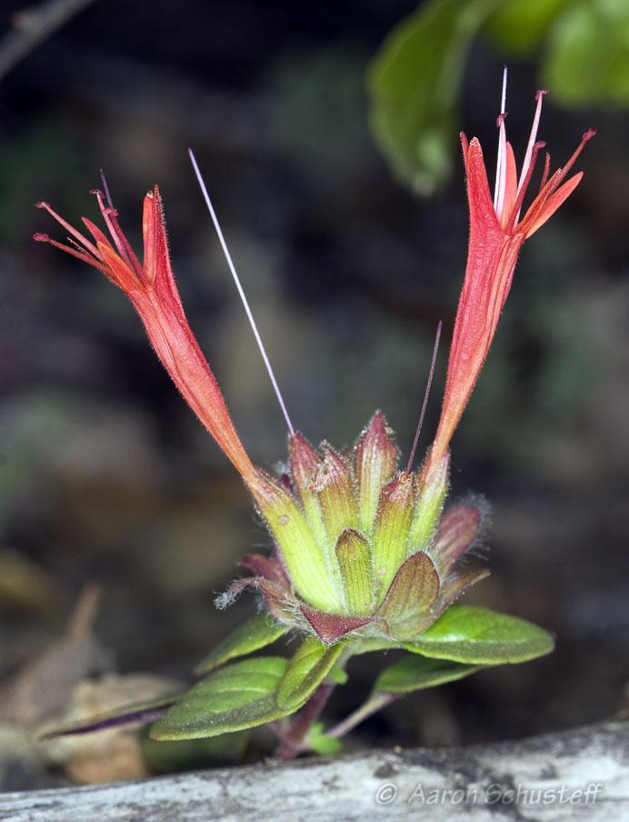 Monardella macrantha ssp. macrantha