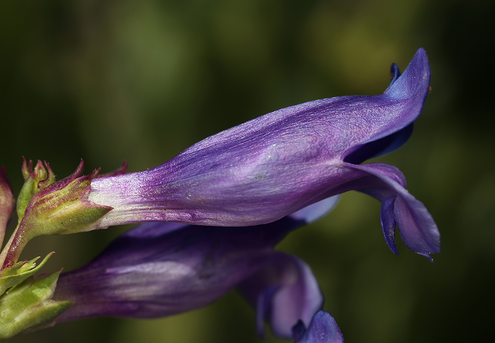 Penstemon subglaber