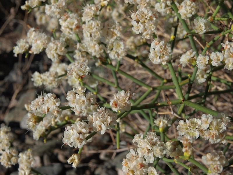Eriogonum heermannii var. humilius