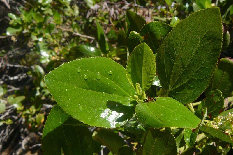 Ceanothus velutinus